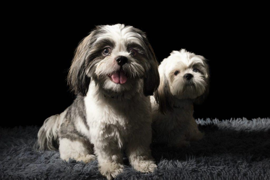 Puppy for Seniors
